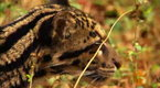 Watch Big Cat Week Season  - How to Be Wild Online