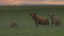 Watch Big Cat Week Season  - Attack of the Hyena Online