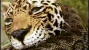 Watch Animal Face-Off Online - Full Episodes of Season 1  Yidio