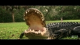 Watch Gator Boys - A Gator Too Comfortable Around People | Gator Boys Online