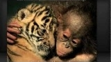 Watch Unlikely Animal Friends - Unusual Animal Friends Online