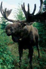 Moose Attack!