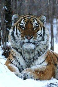 Last Tiger Standing