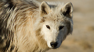 Watch Nature Season 36 Episode 7 - Arctic Wolf Pack Online