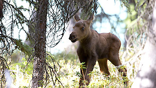 Watch Nature Season 34 Episode 10 - Moose: Life of a Twi... Online