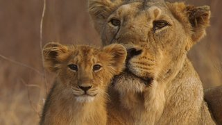 Watch Nature Season 34 Episode 14 - India's Wandering Li... Online