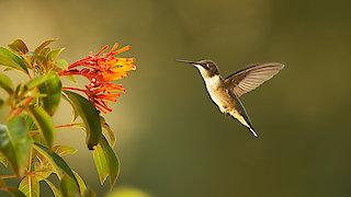 Watch Nature Season 35 Episode 2 - Super Hummingbirds Online