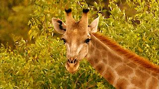 Watch Nature Season 35 Episode 4 - Giraffes: Africa's G... Online