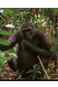 Mystery Gorillas
