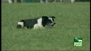 Watch Breed All About It  Season 1 Episode 1 - Border Collies Online
