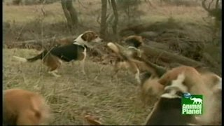 Watch Breed All About It  Season 1 Episode 2 - Beagles Online