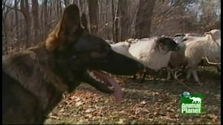 Watch Breed All About It  Season 1 Episode 4 - German Shepherds Online