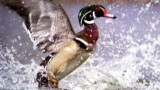 Watch Great Migrations Season  - Ducks Away! Online