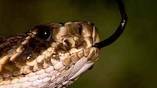 Watch Inside Nature's Giants Season 1 Episode 2 - Monster Python Online