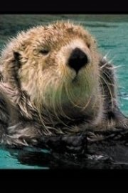 Dance of the Sea Otter