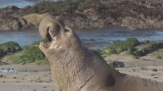 Watch Ocean Mysteries Season 4 Episode 17 - Elephant Seals Online