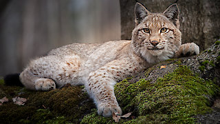 Watch Nature Season 35 Episode 16 - Forest Of The Lynx Online