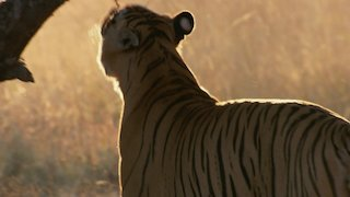 Watch Big Cat Week Season 6 Episode 3 - The Ultimate Predato...Online