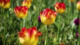 Watch NBC Nightly News with Brian Williams - Spring Has Sprung! Michigan Town Celebrates With 4,500,000 Tulips Online