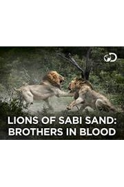 Lions Of Sabi Sand Brothers In Blood
